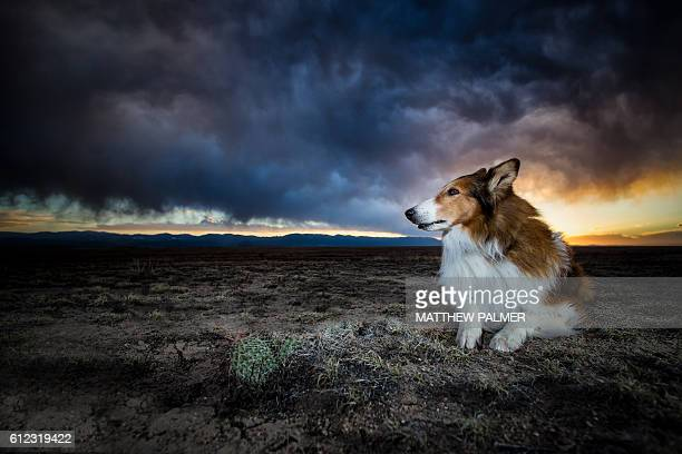 Collie in storm