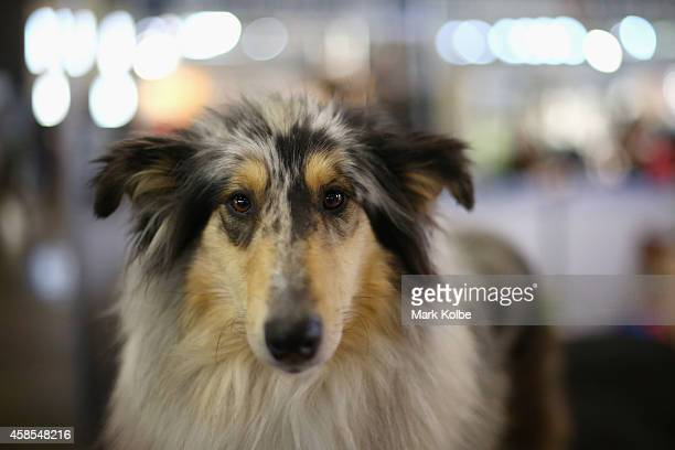 Collie is seen during Dog Lovers Show at Royal Hall of Industries Moore Park on November 7 2014 in Sydney Australia