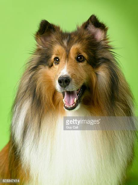 collie - collie stock pictures, royalty-free photos & images