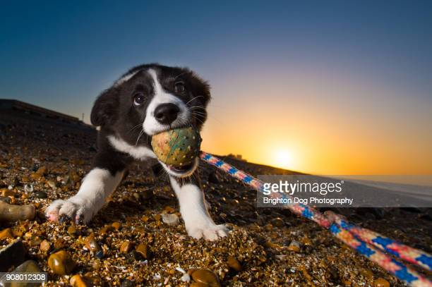 A Collie puppy playing tug