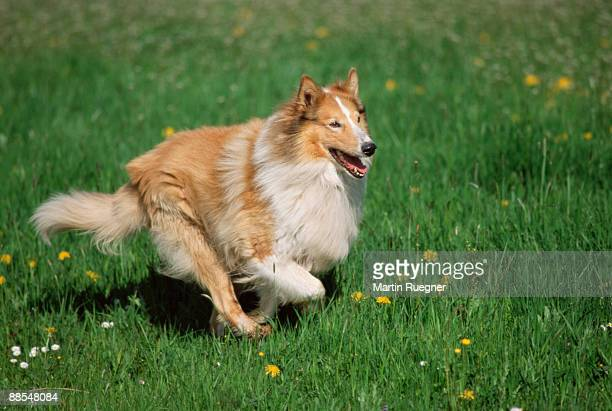 collie running in field - collie stock pictures, royalty-free photos & images