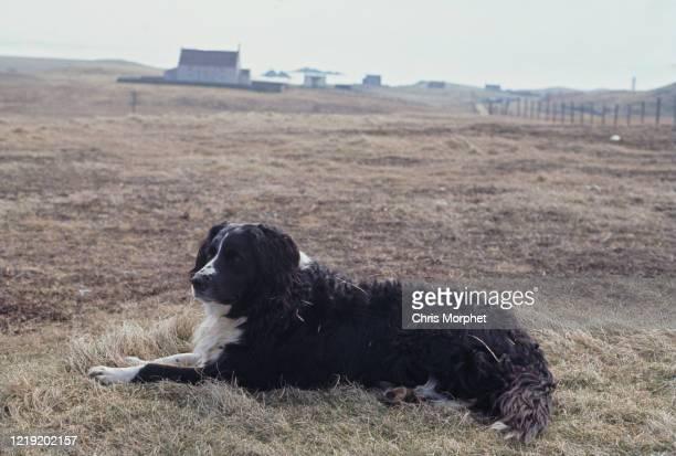 A collie sheepdog Fair Isle Shetland Islands Scotland June 1970