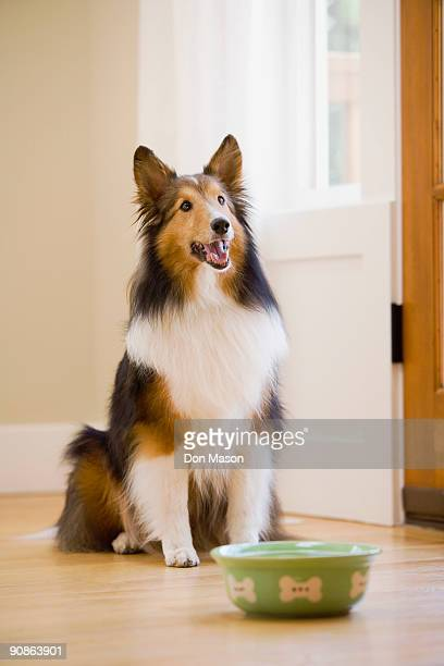 Collie sitting by food dish
