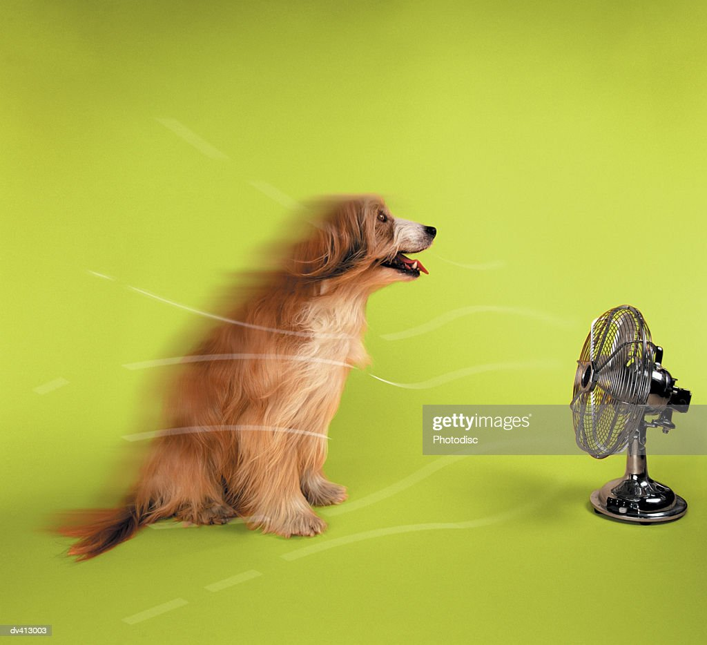 Collie sitting in-front of fan : Stock Photo