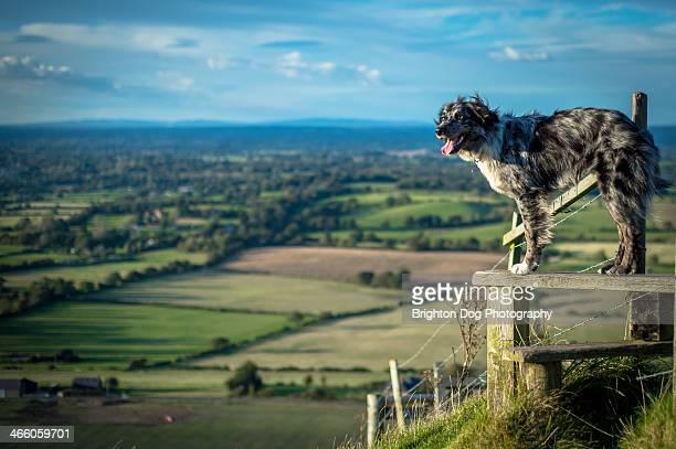 Collie type dog stood on a Stile