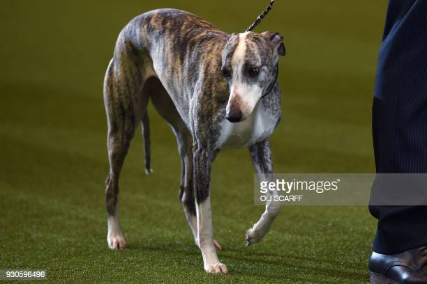 Collooney Tartan Tease the Whippet after winning the Best in Show competition on the final day of the Crufts dog show at the National Exhibition...
