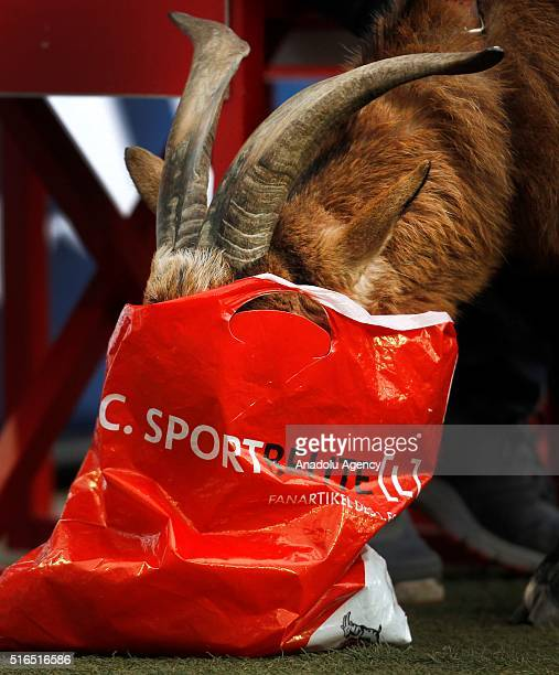 Cologne's mascot Hennes eats a bag during the Bundesliga football match between 1 FC Cologne and Bayern Munich at the RheinEnergie stadium in Cologne...