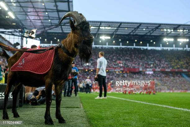 Colognes mascott Hennes IX prior the Bundesliga match between 1. FC Koeln and Borussia Dortmund at RheinEnergieStadion on August 23, 2019 in Cologne,...