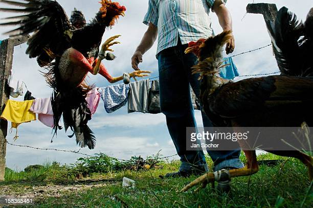 A Colombian cock trainer observes a training cockfight in Villavicencio Colombia 17 April 2006 Cockfight is a widely popular and legal sporting event...