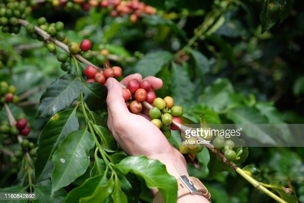 colombian coffee beans - colombia stock pictures, royalty-free photos & images