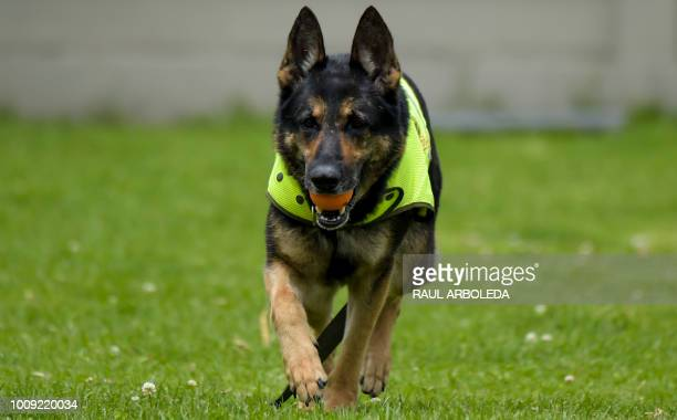 Colombian drug-sniffing dog Sombra , is pictured at El Dorado International airport in Bogota on July 27, 2018. - After snatching millions of dollars...