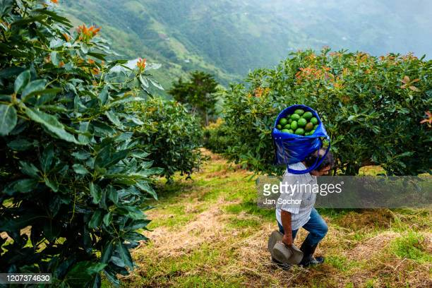 Colombian farm worker carries a bag of avocados during a harvest at a plantation on November 21, 2019 near Medellín, Colombia. Colombian avocado...