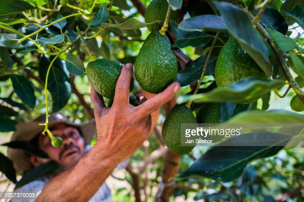 Colombian farm worker picks avocado fruits from a tree during a harvest at a plantation on November 21 2019 near Medellín Colombia Colombian avocado...