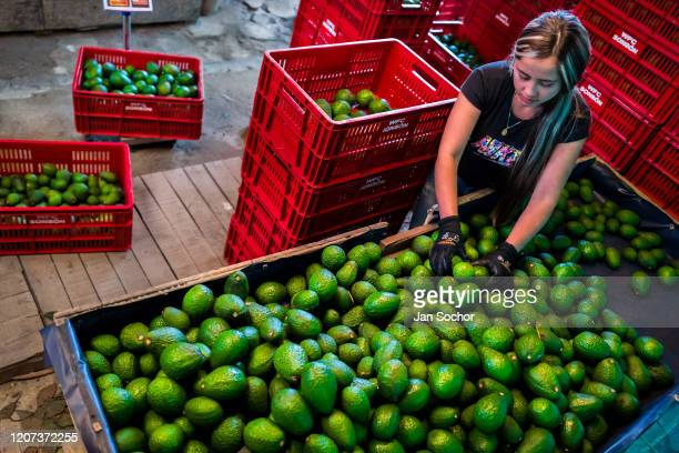 Colombian farm worker sorts out avocados into crates at a farm facility on November 21 2019 near Medellín Colombia Colombian avocado industry has...