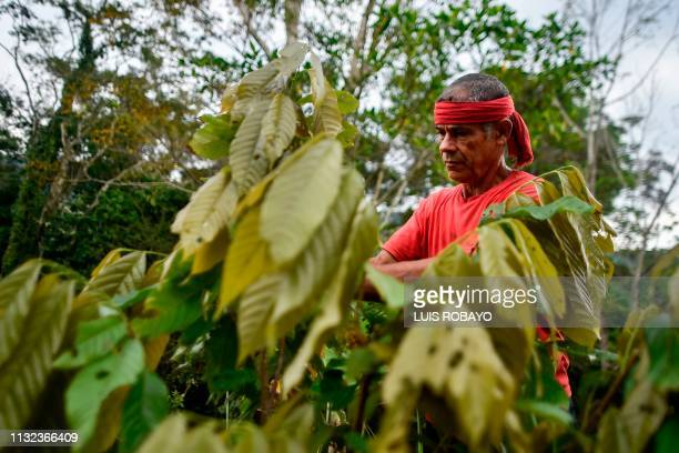 Colombian Luis Portilla checks a cocoa plant at his farm in the Catatumbo region Norte de Santander department Colombia on February 8 2019 Portilla...