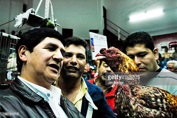 Colombian men inspect fighting cock's injuries after a very tough match in Gallera San Miguel Bogotá Colombia 7 April 2006 Cockfight is a widely...
