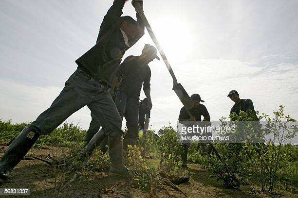 Colombian peasants uproot coca plants 12 February, 2006 at La Macarena park, Vistahermosa municipality, Meta department, Colombia during an operation...