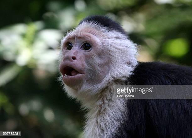colombian white throated capuchin monkey - mono capuchino fotografías e imágenes de stock