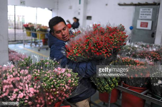 A Colombian worker carries a bouquet of flowers to be packed at Flores de Funza farm in Funza Cundinamarca department Colombia on January 28 2010...
