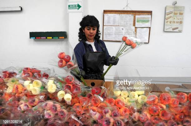 A colombian worker packs flowers at Flores de Funza farm in Funza Cundinamarca department Colombia on January 28 2010 Since late 2009 more than...