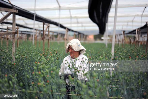 A Colombian worker selects flowers at Flores de Funza farm in Funza Cundinamarca department Colombia on January 28 2010 Since late 2009 more than...