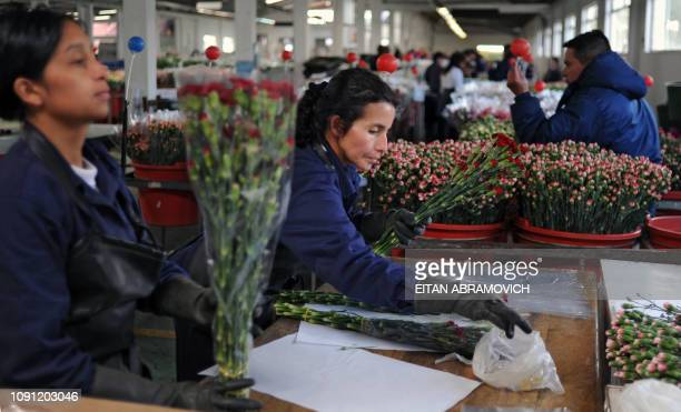 Colombian workers pack flowers at Flores de Funza farm in Funza Cundinamarca department Colombia on January 28 2010 Since late 2009 more than 200000...