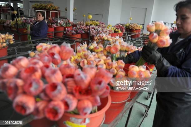 Colombian workers select flowers at Flores de Funza farm in Funza Cundinamarca department Colombia on January 28 2010 Since late 2009 more than...