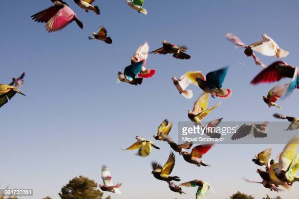 colombiculture. the art of pigeon - flock of birds stock pictures, royalty-free photos & images