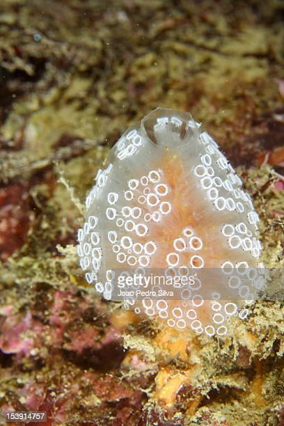 colonial sea squirt (aplidium punctum) - sea squirt stock pictures, royalty-free photos & images
