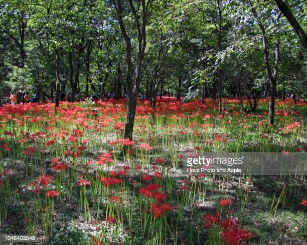 colonies of cluster amaryllis and people who enjoy it - 埼玉県 ストックフォトと画像