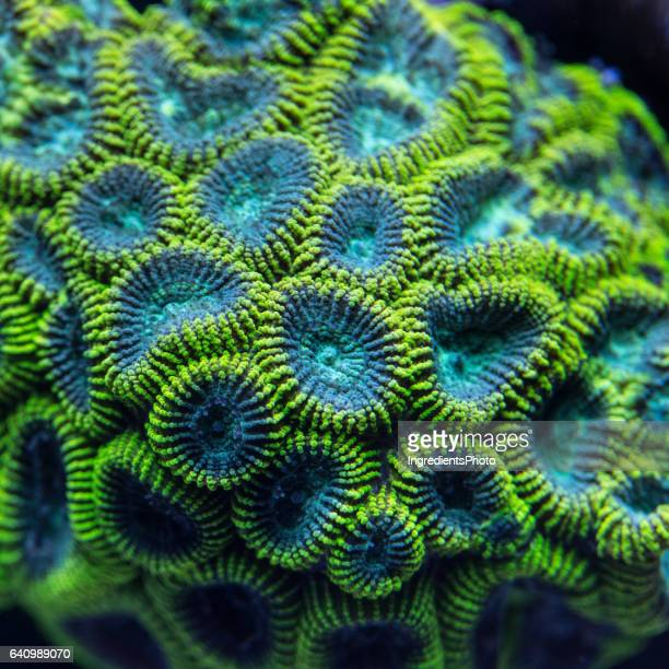 Colony of a green Favia coral.