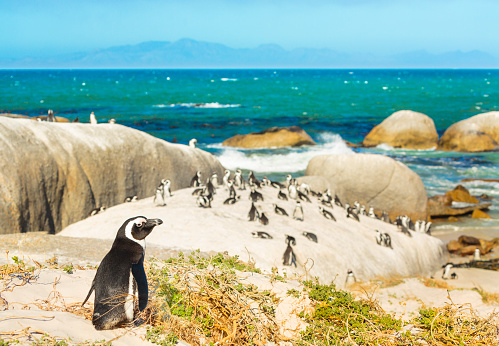 Colony of african penguins on rocky beach in South Africa 467972626