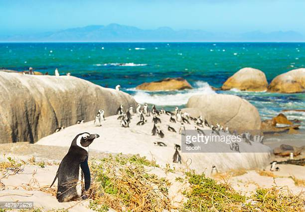 colony of african penguins on rocky beach in south africa - pinguïn stockfoto's en -beelden