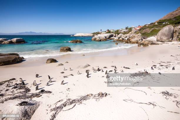 colony of african penguins resting on boulders beach - boulder county stock pictures, royalty-free photos & images