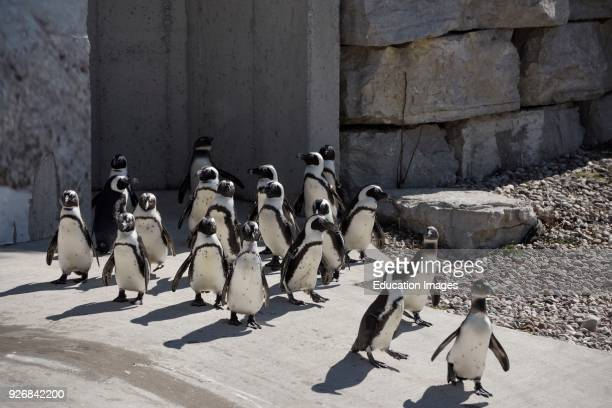 Colony of captive African Penguins on land looking for food