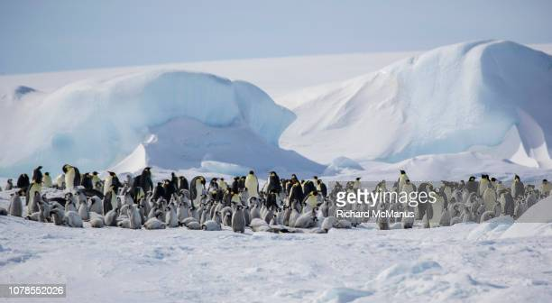 colony of emperor penguins at snow hill. - rookery stock pictures, royalty-free photos & images