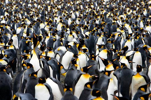 Colony of Emperor Penguins 108161988