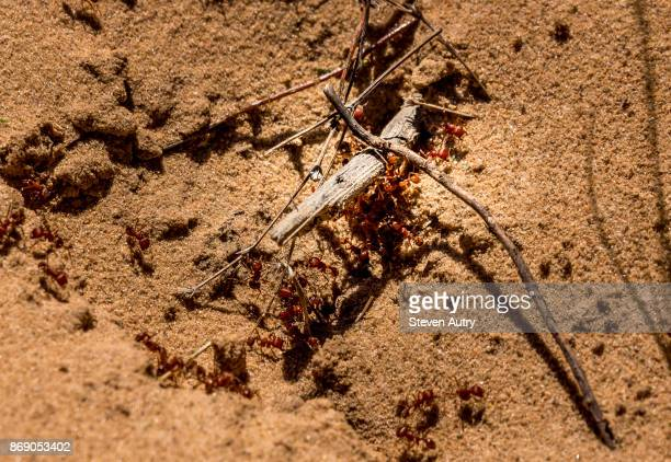 FT. WORTH, TX, USA OCTOBER 17, 2017:  A colony of Fire Ants swarms around twigs inadvertently blocking the entrance to the hive in a Ft. Worth wild life preserve.