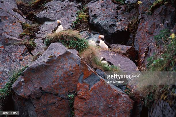 Colony of horned puffins