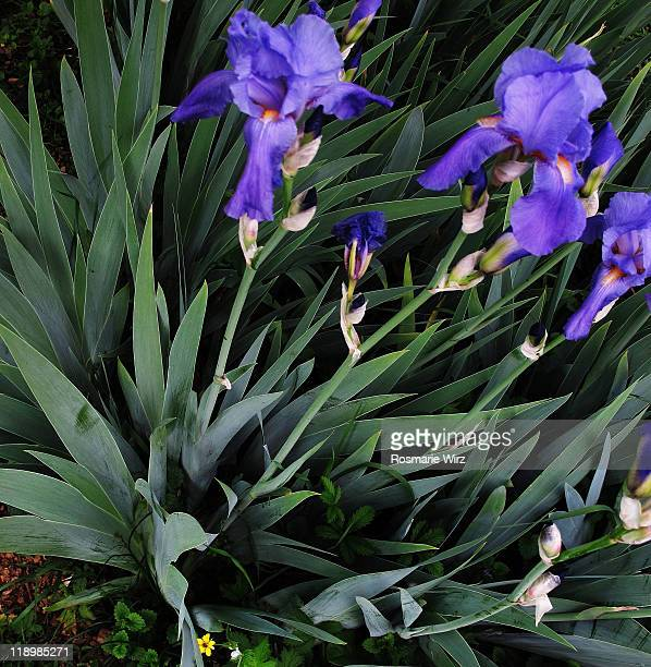 colony of iris germanica - bearded iris stock photos and pictures