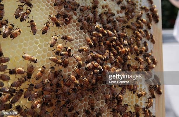 A colony of Italian honeybees from a hive installed by a Brooklyn amateur beekepper is seen May 30 2009 in New York City Beekeeping is a growing...