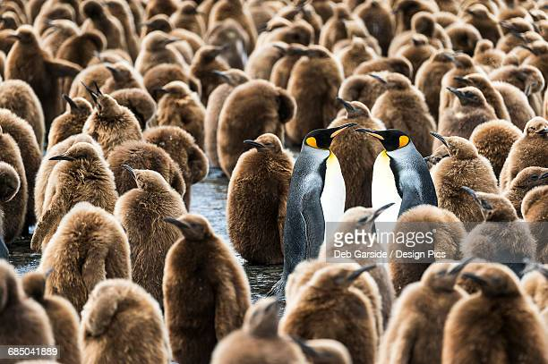 colony of juvenile king penguins (aptenodytes patagonicus) - koningspinguïn stockfoto's en -beelden