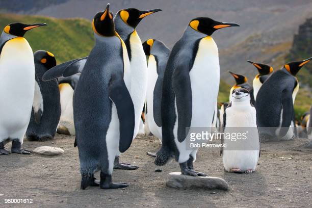 Colony of king penguins (Aptenodytes patagonicus) and single chinstrap penguin, South Georgia, UK