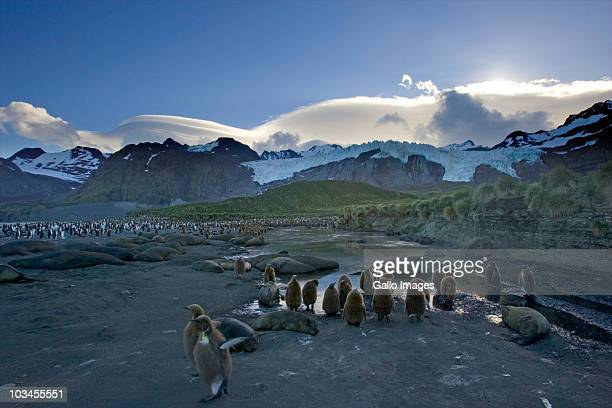 colony of king penguins (aptenodytes patagonicus), gold harbor, south georgia island, southern atlantic islands, antarctica - rookery stock pictures, royalty-free photos & images