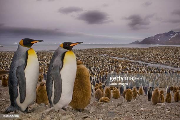 colony of king penguins (aptenodytes patagonicus) in st. andrews bay, south georgia island, southern atlantic islands, antarctica - königspinguin stock-fotos und bilder
