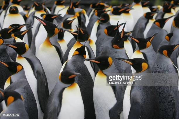 A colony of king penguins is pictured 01 July 2007 on Possession Island in the Crozet archipelago in the Austral seas Photo prise le 01 juillet 2007...