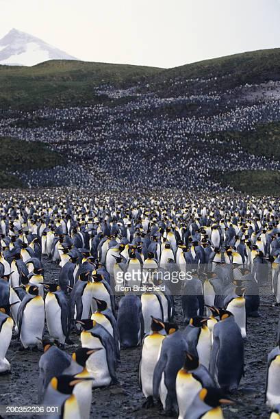 colony of king penguins (aptenodytes patagonicus) - grande gruppo di animali foto e immagini stock