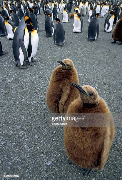 colony of king penguins (two young, the others adult) - category:cs1_maint:_others stock pictures, royalty-free photos & images