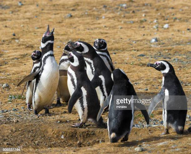 Colony of Magellan (Magellanic) Penguins on Magdalena Island