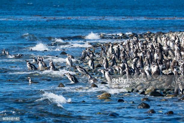 Kolonie von Magellan-Pinguine, Patagonien